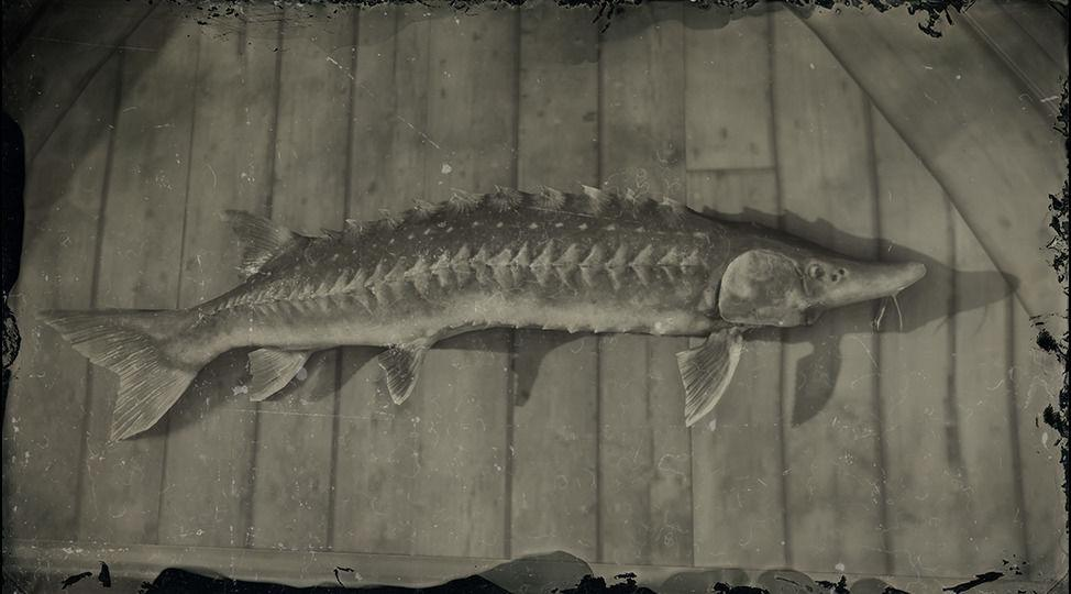 Legendary Lake Sturgeon