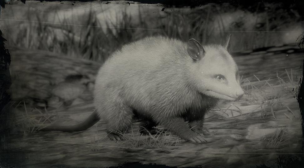Virginia Opossum - Red Dead Redemption 2 Animals Species
